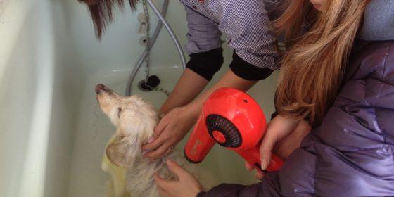 シャンプーされる保護犬