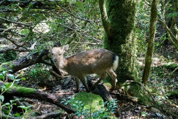 ニホンジカ(屋久島の鹿)