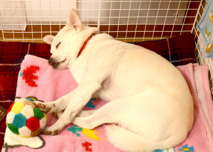 「わおん」で暮らす保護犬出身のみりんちゃん