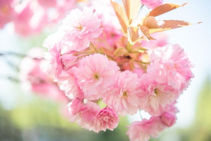 神奈川のお花見スポット、犬と