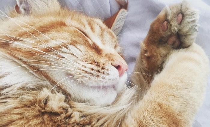 猫の歯みがきを習慣づけて歯周病ケアを