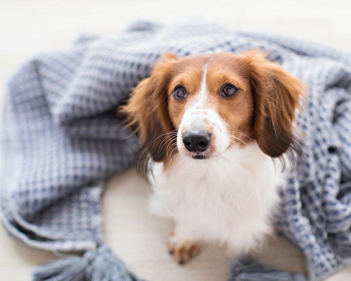 犬の耳の病気④耳血腫