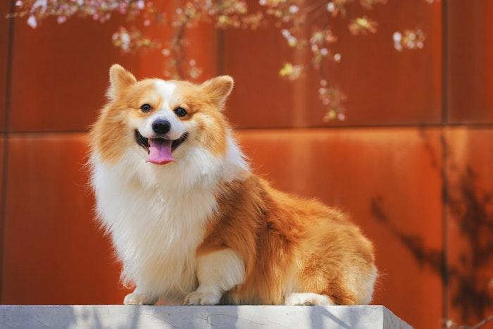 犬の避妊によって得られるメリットとデメリット