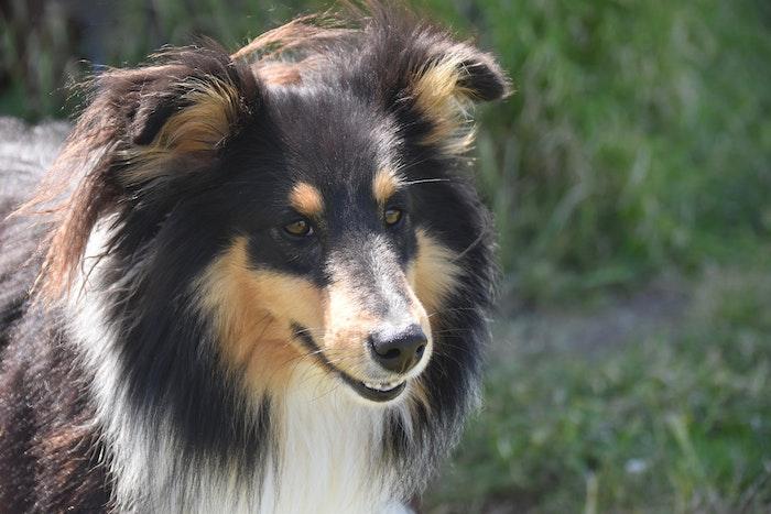犬の去勢によって得られるメリットとデメリット