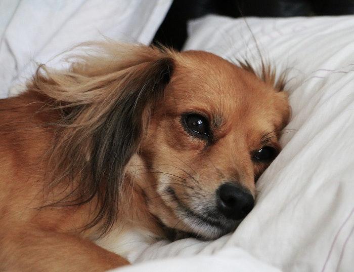 犬伝染性肝炎の症状とは
