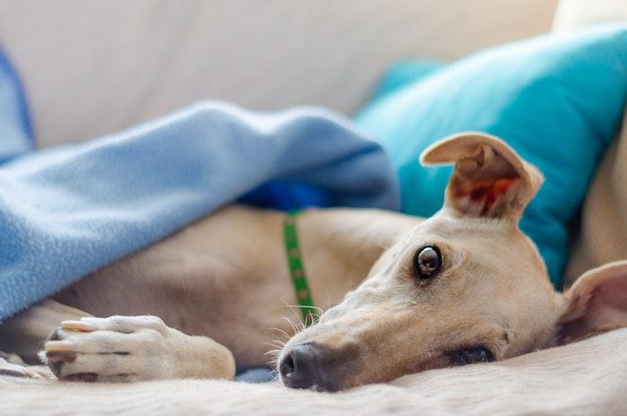 フィラリア症 犬糸状虫症 治療