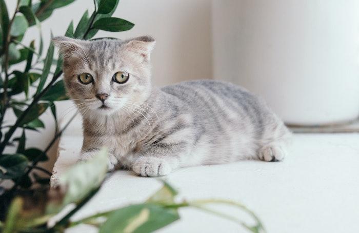 猫汎白血球減少症,猫,病気,ワクチン,予防,健康