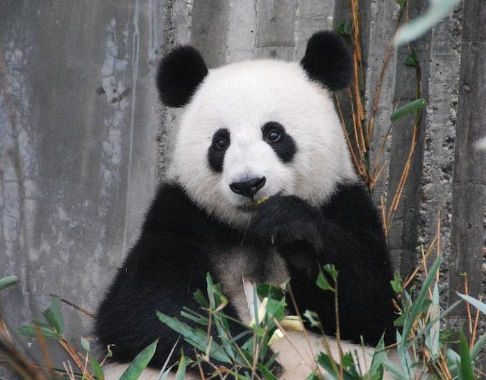 パンダ 漢字 大熊猫
