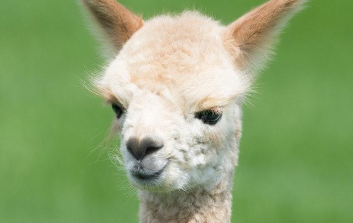 アルパカ 漢字 羊駱駝