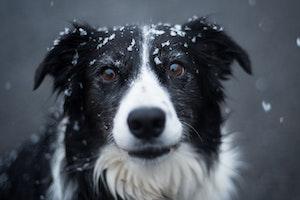 犬,鼻,色,変化,冬,紫外線,色素,スノー・ノーズ,ウィンター・ノーズ