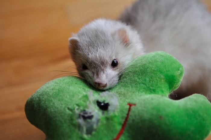 フェレット,遊び方,おもちゃ,飼い方,暮らし