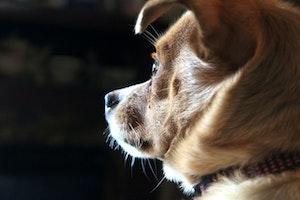 犬,ペット,ひげ,触毛,飼い主,人間,感覚器官,賛否両論,感覚,野生,健康