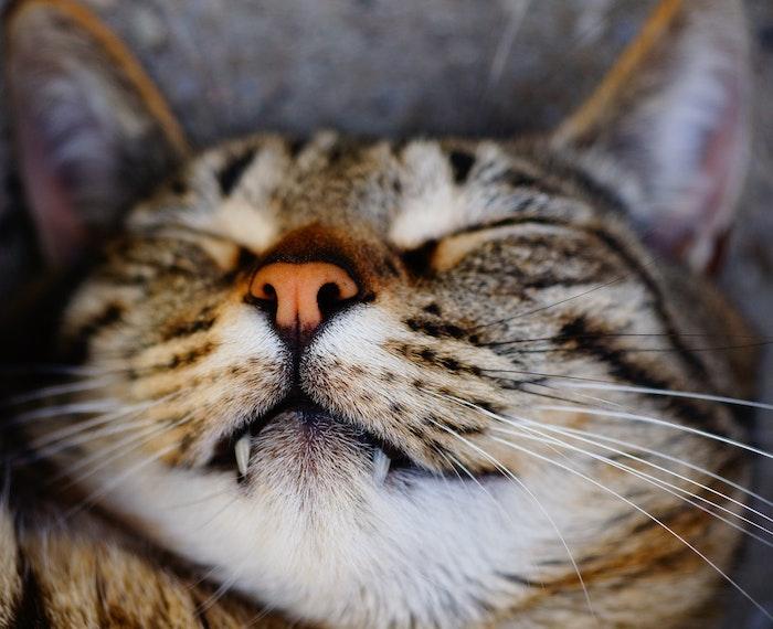 猫,歯,不正咬合,噛み合わせ,抜歯,矯正,健康