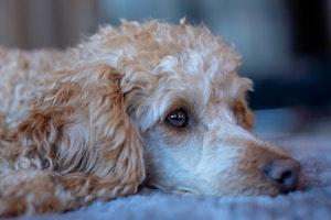 犬,トイプードル,プードル,好発疾患,病気,健康,飼育環境,予防