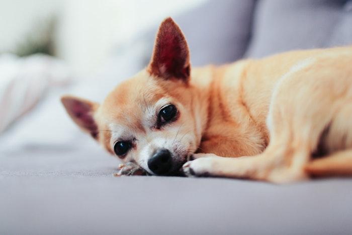 犬,チワワ,好発疾患,予防,対策