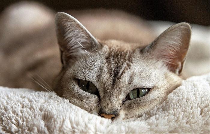 猫,健康,ウールサッキング,摂食,誤飲,ストレス,病気,常同障害
