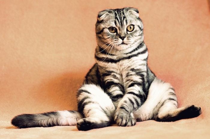猫,座り方,座法,スフィンクス座り,エジプト座り,香箱座り,スコ座り,アンモニャイト,へそ天,ごめん寝