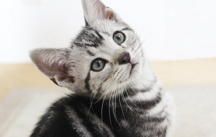 猫,アメリカンショートヘア,好発疾患