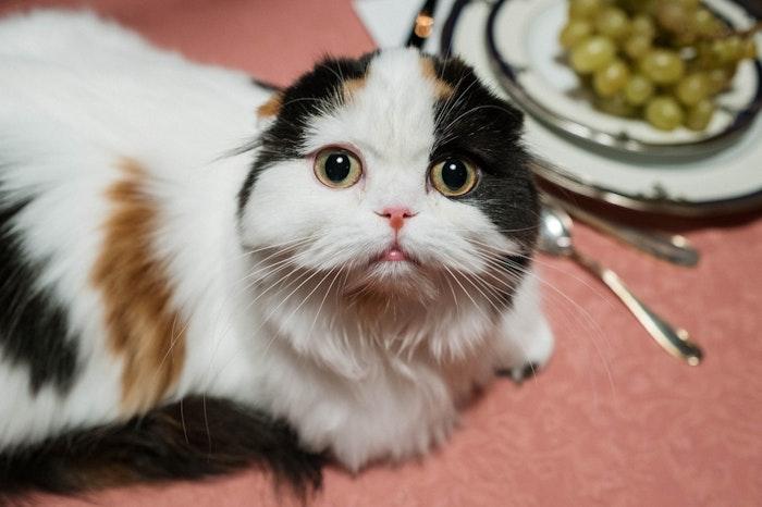 スコティッシュフォールド,猫,折れ耳,病気,疾患,対策
