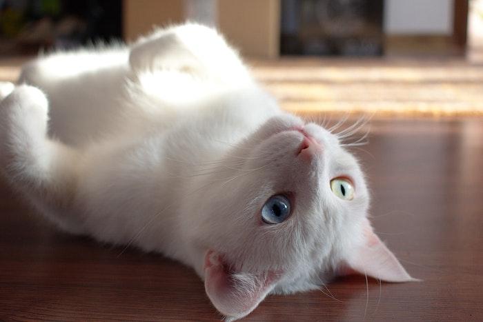 猫,目,色,オッドアイ,アルビノ,病気,白内障,ブドウ膜炎,角膜分離症,緑内障,メラノーマ