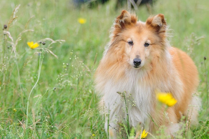 シェットランド・シープドッグ,シェルティ,犬,犬種,飼い方,歴史,性格,特徴