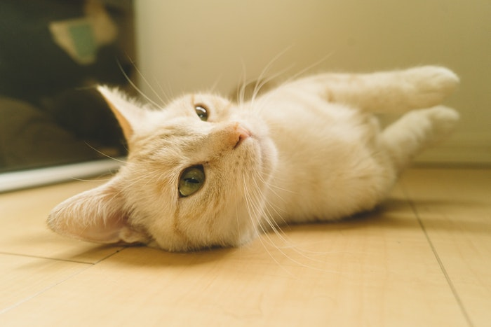 猫,猫種,マンチカン,好発疾患,症状,対策,