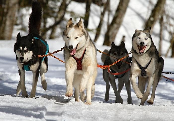 シベリアン・ハスキー,犬ぞり,飼い方,犬,性格,お手入れ,犬図鑑