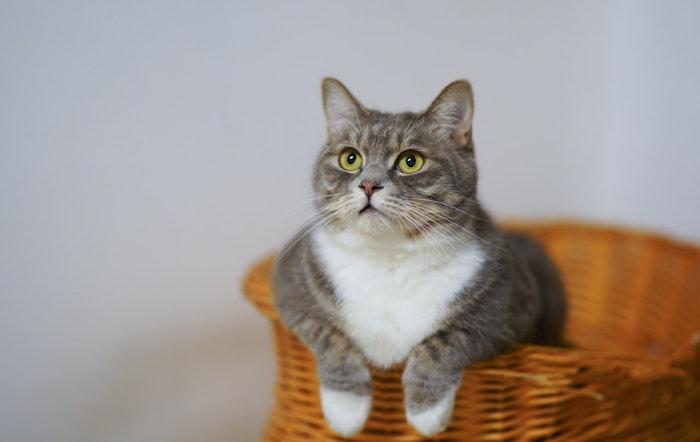 猫,縁皮嚢,ヘンリーのポケット,耳,ポケット,耳袋,役割,耳掃除