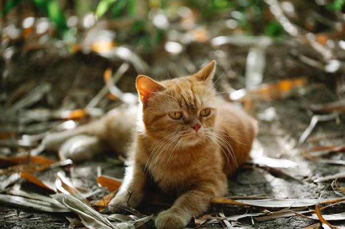 猫,元野良猫,食欲,旺盛,キャットフード,与え方,肥満