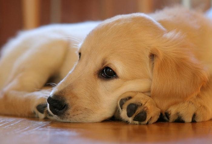 ゴールデン・レトリバー,ラブラドール・レトリバー,違い,比較,犬,犬種