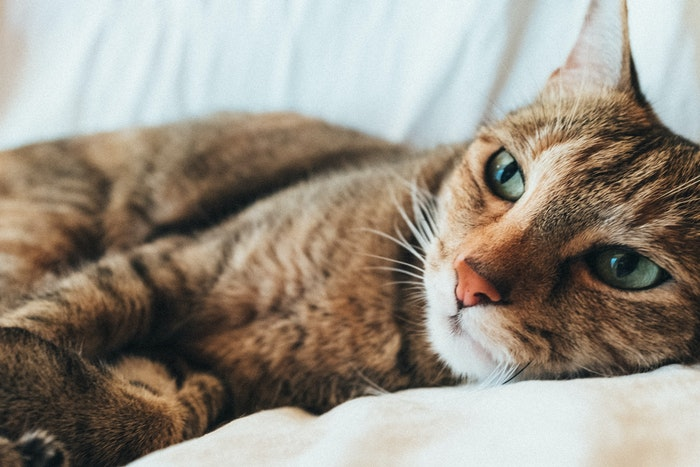 猫,腎臓病,最新研究,寿命,AIM,治療,30年,免疫,マクロファージ,寄付
