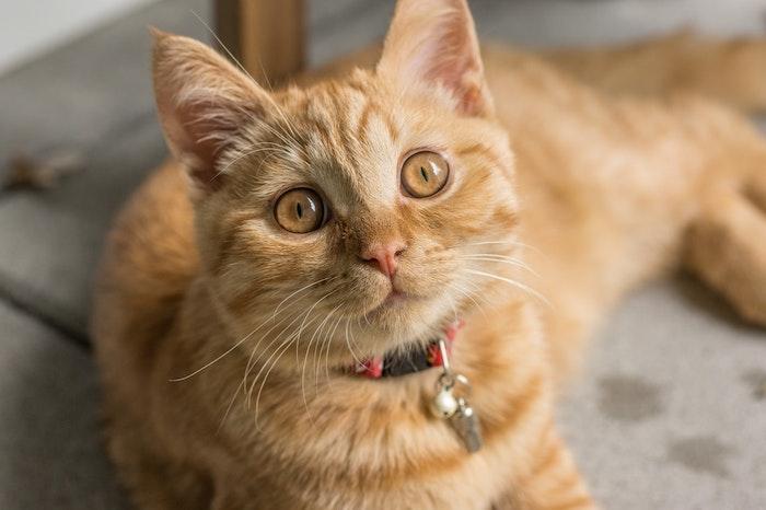 猫,クレオパトラライン,M字模様,額,縞模様,ゴーストマーキング