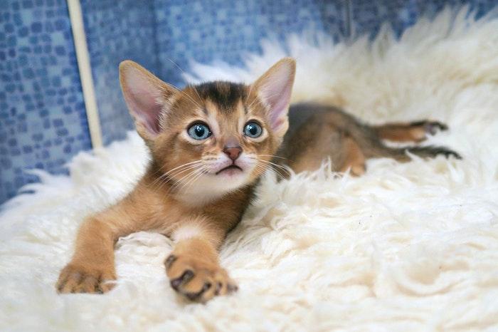 アビシニアン,猫種,猫,好発疾患,病気