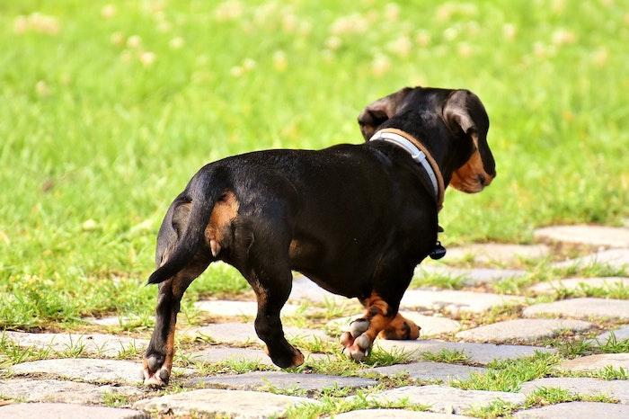 椎間板ヘルニア,犬,鍼灸治療,手術