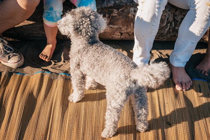 犬,しっぽ,切る,断尾,国,犬種,理由,歴史