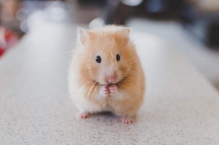 ヘムスター,しっぽ,短い,ネズミ,役割,病気