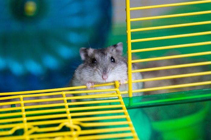 ハムスター,しっぽ,短い,ネズミ,役割,病気